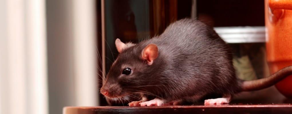 Rodent Rat in kitchen