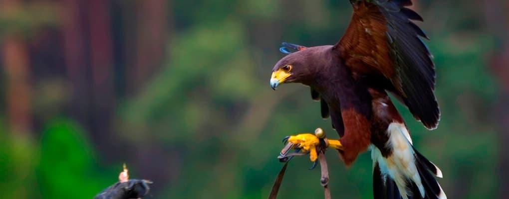 hawking bird control